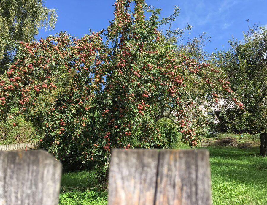 Apfelbaum in Bauerngarten