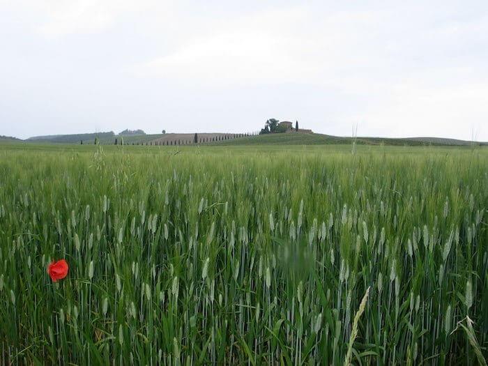 Getreidefeld mit Mohn in der Toskana. Foto: Anne Bauer