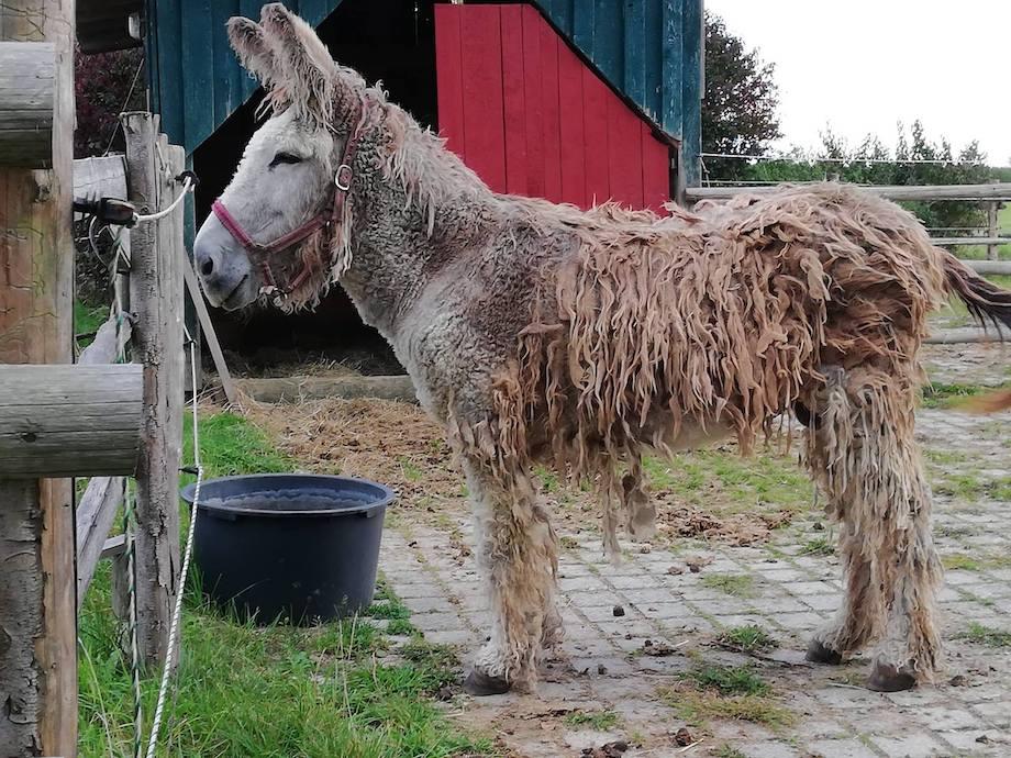 Carlos, der alte Poitou-Esel. Foto: Janne Kellner