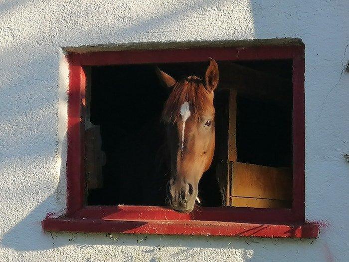 Ein Pferd seiht aus dem Stallfenster. Foto: Janne Kellner