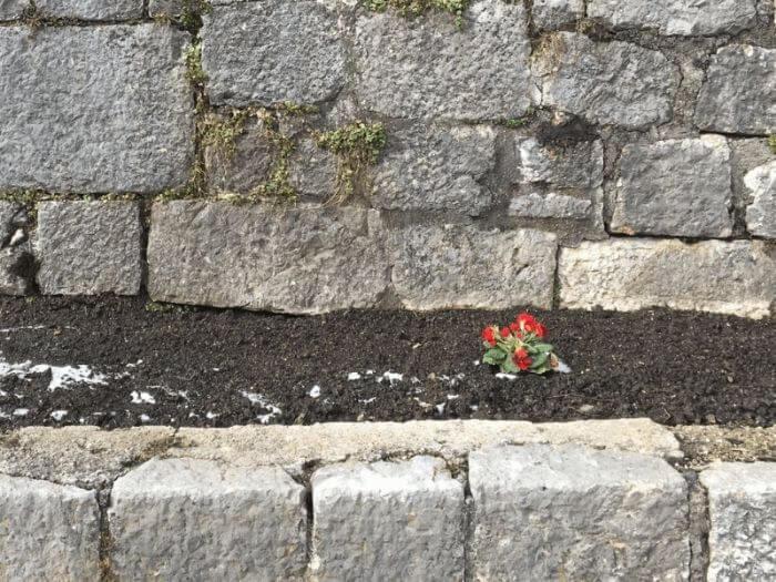 Eine rote Blume wächst in einem Mauergarten.