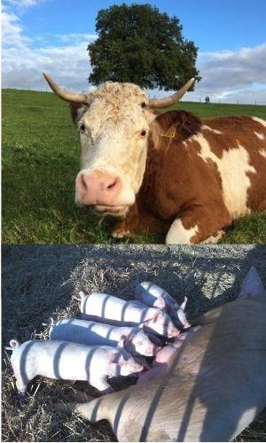 Eine Kuh auf einer Weide und Ferkel beim Säugen.