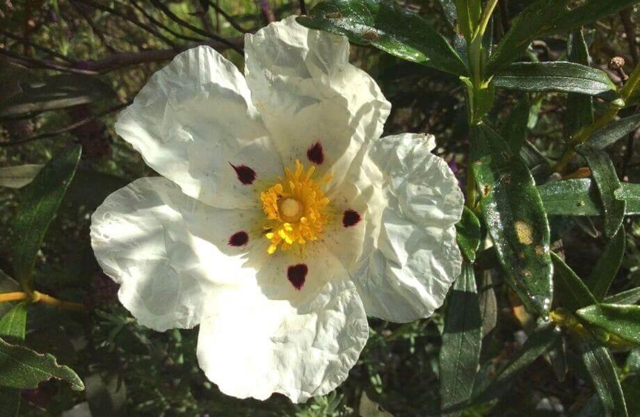 Eine weiße, geöffnete Blüte zwischen Blättern im Sonnenlicht.